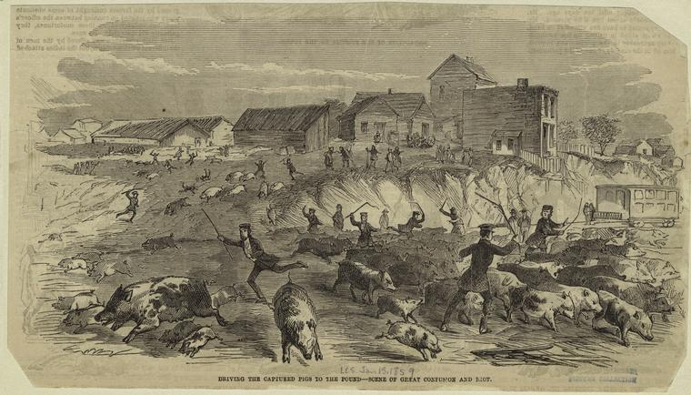 "A stark scene from the so-called Piggery Wars of 1859 -- ""Driving The Captured Pigs To The Pound : Scene Of Great Confusion And Riot."" From Frank Leslie's Illustrated Newspaper, courtesy New York Public LIbrary"