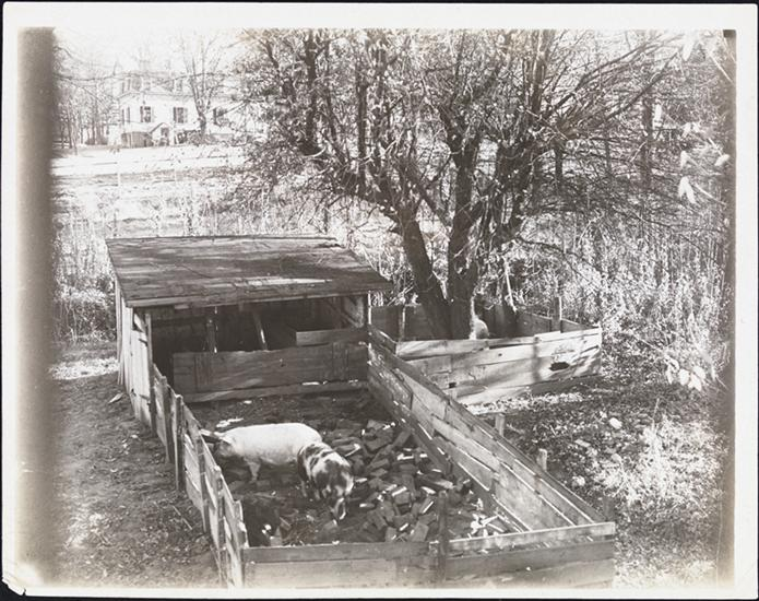 "By 1910, pigs had all but vanished from Manhattan.  The caption of this picture reads ""Only pig sty on Manhattan Island."" Courtesy Museum of the City of New York"