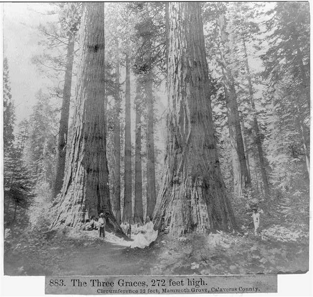 From a photograph in 1866 -- The Three Graces, 272 feet high, circumference 32 feet, Mammoth Grove, Calaveras County (Library of Congress)